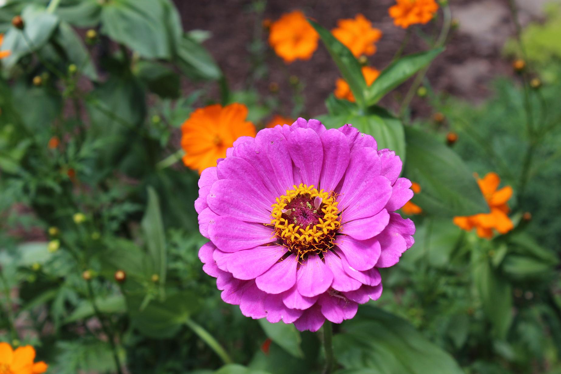 Wolary Garden: Zinnias always dazzle the eye